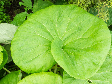 petasites hybridus: Petasites hybridus is a herbaceous perennial plant in the family Asteraceae, native to Europe and northern Asia.