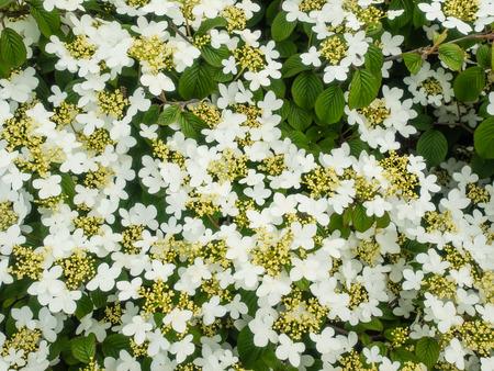 Viburnum plicatum Stock Photo