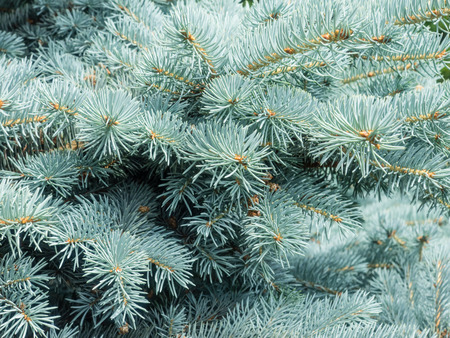 sharply: Colorado blue spruce (Picea pungens) is a species of spruce tree. It is native to the Rocky Mountains of the United States. Stock Photo