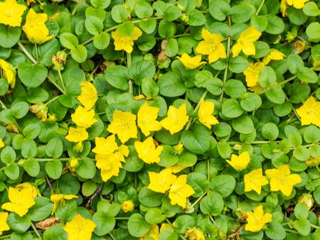 노란색 pimpernel Lysimachia nemorum Myrsinaceae 가족에서 Lysimachia 속의 꽃 식물입니다.