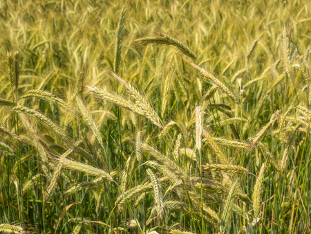 extensively: Rye  Secale cereale  is a grass grown extensively as a grain and as a forage crop