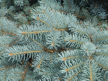 picea: Colorado blue spruce  Picea pungens  is a species of spruce tree  It is native to the Rocky Mountains of the United States  Stock Photo