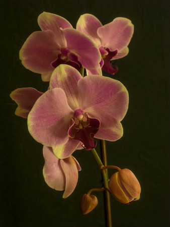 well known: Phalaenopsis orchids are well known for their relatively large bloom size and striking colors.