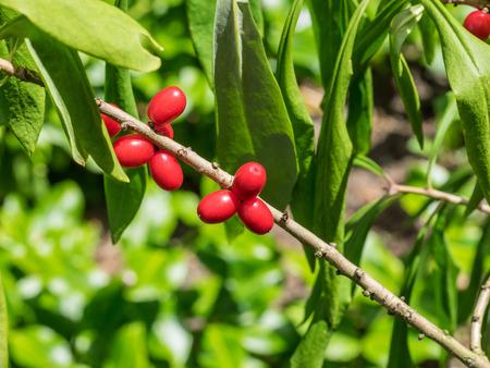 daphne: Mezereon (Daphne mezereum) es una especie de Daphne en la familia de plantas de floraci�n Thymelaeaceae