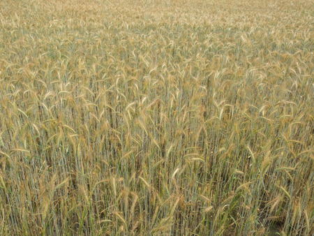 secale: Rye  Secale cereale  is a grass grown extensively as a grain and as a forage crop