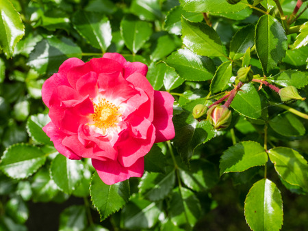 northwest africa: Rosa canina is a variable climbing wild rose species native to Europe, northwest Africa and western Asia
