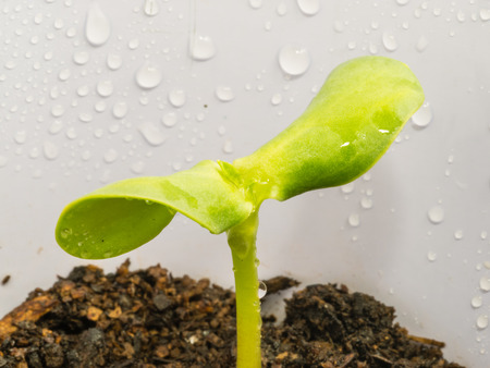 hulled: Sunflower seed sprouts grow from hulled sunflower seeds. Stock Photo