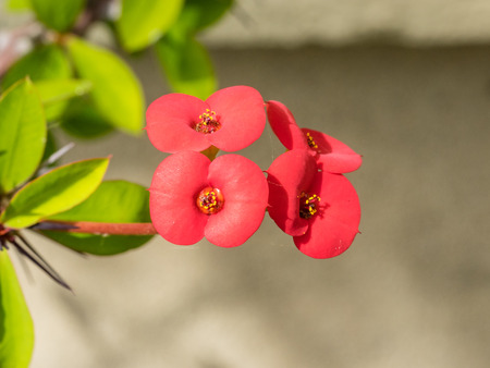 Euphorbia milii  crown of thorns, Christ plant, Christ thorn  is a species of flowering plant in the spurge family Euphorbiaciae, native Madagascar