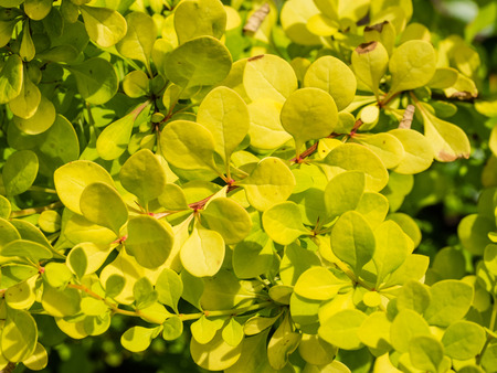 Thunbergs barberry (Berberis thunbergii) is a species of Berberis, native to Japan and eastern Asia, though widely naturalized in China and in North America.