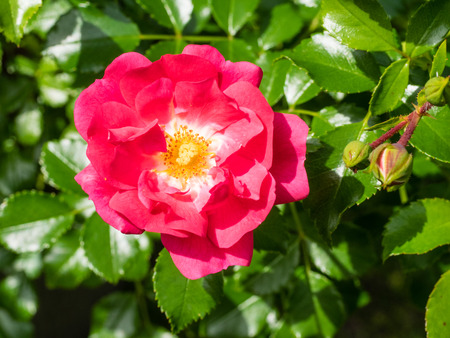 northwest africa: Rosa canina is a variable climbing wild rose species native to Europe, northwest Africa and western Asia.