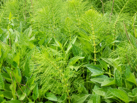 equisetum: Equisetum arvense is a herbaceous perennial plant, native throughout the arctic and temperate regions of the northern hemisphere