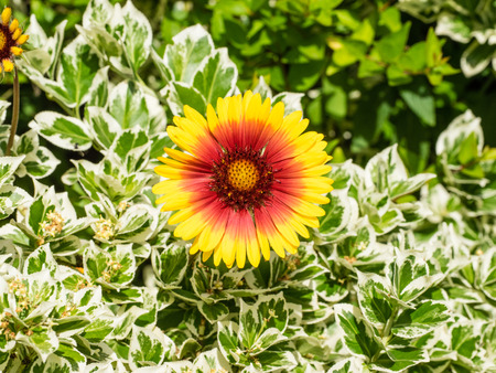 Gaillardia, the blanket flowers, is a genus of flowering plants in the sunflower family
