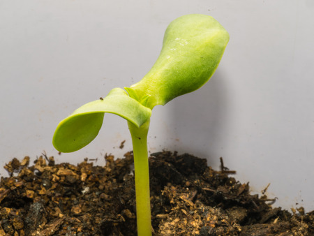Sunflower seed sprouts grow from hulled sunflower seeds. photo