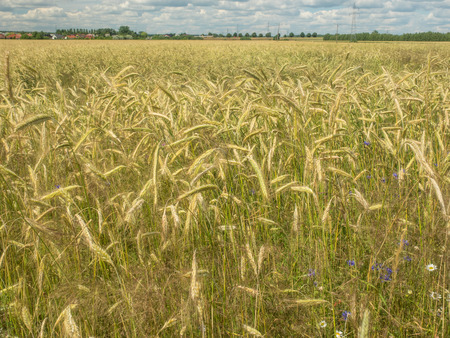 secale: Rye (Secale cereale) is a grass grown extensively as a grain and as a forage crop. Stock Photo