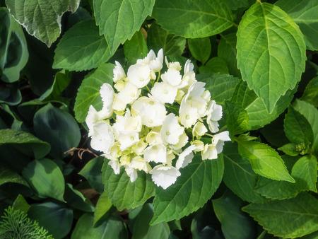 plants species: Hydrangea � un genere di specie di piante da fiore originario dell'Asia meridionale e orientale Archivio Fotografico