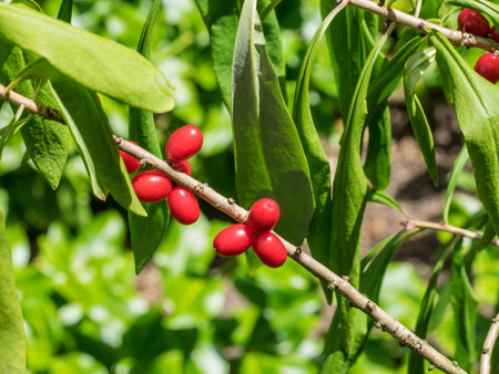 dafne: Mezereon (Daphne mezereum) � una specie di Daphne in piante della famiglia Thymelaeaceae