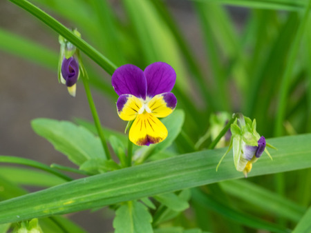 Pansies are derived from viola species Viola tricolor hybridized with other viola species, these hybrids are referred to as Viola × wittrockiana.
