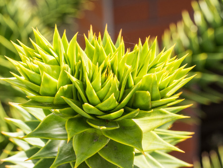 Monkey tail tree (Araucaria araucana) is a popular garden tree, planted for its unusual effect of the thick, reptilian branches with a very symmetrical appearance.