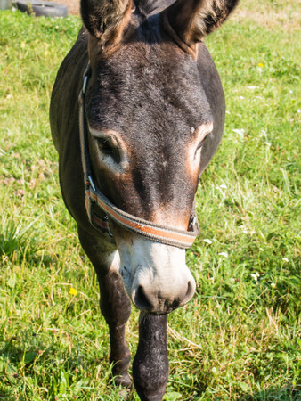 Donkey (Equus africanus asinus) is a domesticated member of the horse family. Imagens