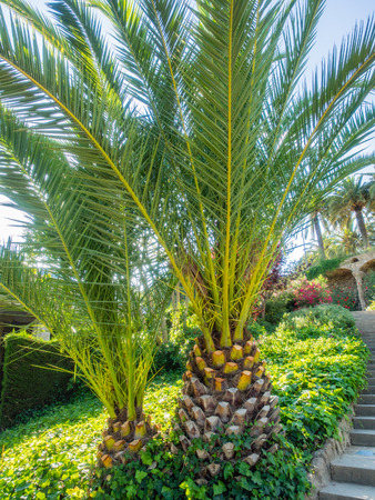 canarian: Canary Palm (Phoenix canariensis) is a species of flowering plant in the palm family Arecaceae, native to the Canary Islands.