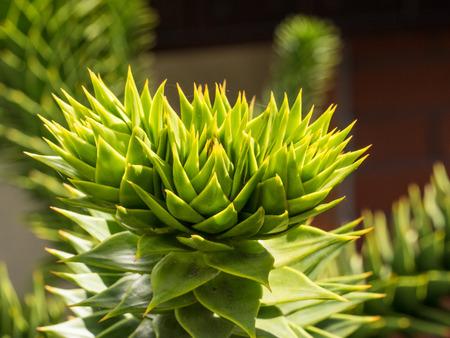 Monkey tail tree (Araucaria araucana) is a popular garden tree photo
