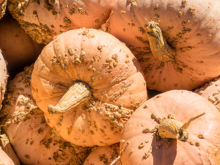 bumpy: Warty pink pumpkin has a hard warty skin that is pink in color. It has a good quality flesh too. It stores extremely well.