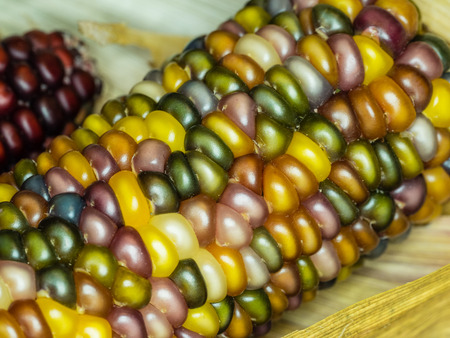 Flint corn (Zea mays indurata) has a hard outer layer to protect the soft endosperm.