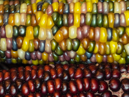 zea mays: Flint corn (Zea mays indurata) has a hard outer layer to protect the soft endosperm.