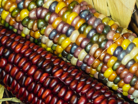 Flint corn (Zea mays indurata) has a hard outer layer to protect the soft endosperm. photo