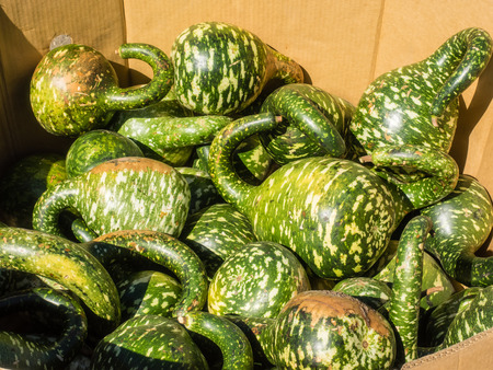 splotches: Speckled Swan gourd is graceful long necked gourds uniformly bent along the neck, resembling the arch of a swans neck with a characteristic head and beak. Gourds are bright green with white speckles and splotches.