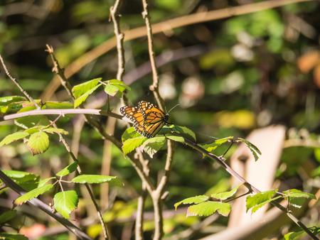 plexippus: Monarch butterfly (Danaus plexippus) is a milkweed butterfly (subfamily Danainae) in the family Nymphalidae.
