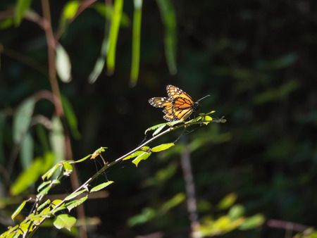 danaus: Monarch butterfly (Danaus plexippus) is a milkweed butterfly (subfamily Danainae) in the family Nymphalidae.