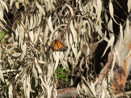 nymphalidae: Monarch butterfly (Danaus plexippus) is a milkweed butterfly (subfamily Danainae) in the family Nymphalidae.