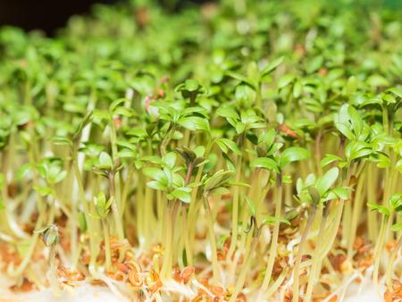 Cuckooflower (Cardamine pratensis) choux plantés sur des tampons blancs. Banque d'images - 37473619