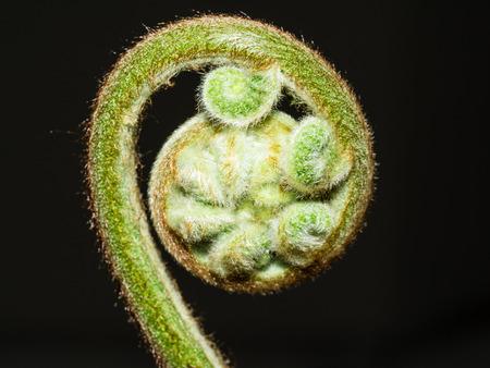 unfurling: Unfurling fiddlehead fern frond in a garden.