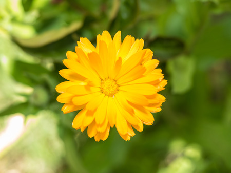 Common marigold (Calendula officinalis) is a plant in the genus Calendula of the family Asteraceae.