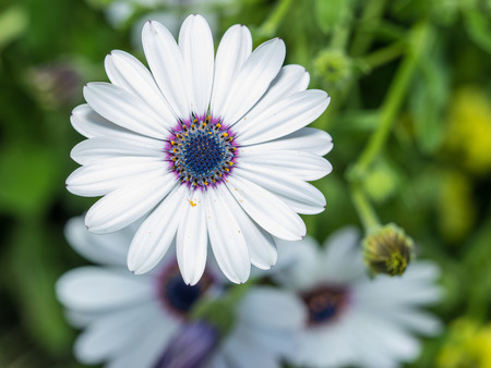 White African Daisy (Dimorphotheca pluvialis) is a plant species native to South Africa but naturalized on disturbed locations along coastal regions of California. Imagens
