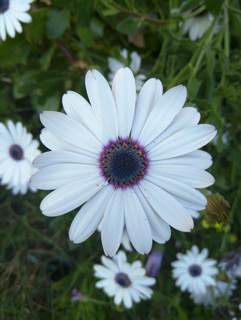 naturalized: White African Daisy (Dimorphotheca pluvialis) is a plant species native to South Africa but naturalized on disturbed locations along coastal regions of California. Stock Photo
