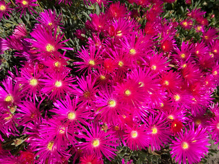 trailing: Trailing Ice Plant (Lampranthus spectabilis) is native to South Africa and thrive in sunny, dry locations. The vibrant, daisy-like flowers open with the sun and close every evening. Stock Photo