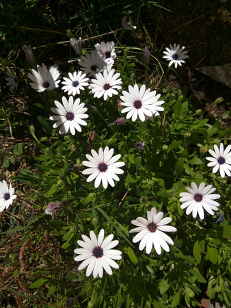 White African Daisy (Dimorphotheca pluvialis) is a plant species native to South Africa but naturalized on disturbed locations along coastal regions of California. Stock Photo