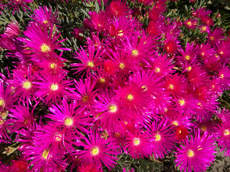 ice plant: Trailing Ice Plant (Lampranthus spectabilis) is native to South Africa and thrive in sunny, dry locations. The vibrant, daisy-like flowers open with the sun and close every evening. Stock Photo