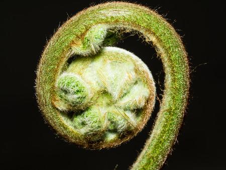 fern fiddlehead: Unfurling fiddlehead fern frond in a garden.