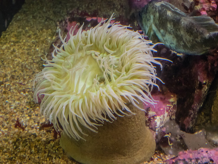 Anthopleura xanthogrammica is a species of intertidal sea anemone of the family Actiniidae.