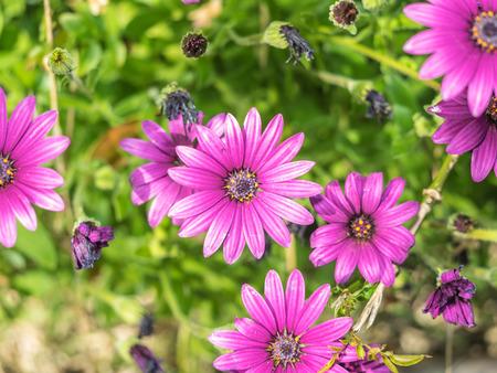 african daisy: Purple South African Daisy (Osteospermum x ) daisy-like composite flower