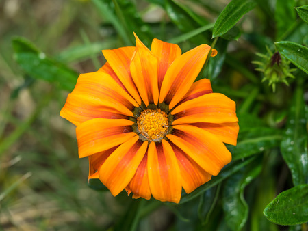 asteraceae: Treasure Flower (Gazania rigens) is a species of flowering plant in the family Asteraceae, native to southern Africa.
