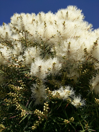 Narrow-leaved paperbark (Melaleuca alternifolia) is a species of tree or tall shrub in the myrtle family Myrtaceae. photo