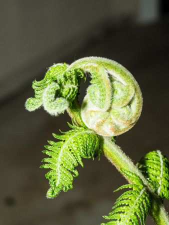 unfolding: Unfurling fiddlehead fern frond in a garden.