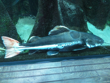 redtail: Redtail catfish (Phractocephalus hemioliopterus) is a pimelodid (long-whiskered) catfish named for its orange-red caudal fin.