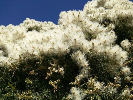 Smalbladige paperbark (Melaleuca alternifolia) is een soort van boom of hoge struik in de mirte familie Myrtaceae.