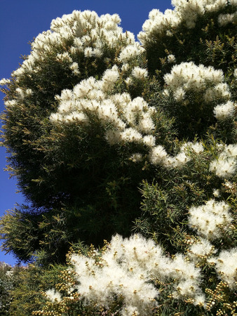 Narrow-leaved paperbark (Melaleuca alternifolia) is a species of tree or tall shrub in the myrtle family Myrtaceae.